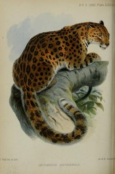Northern Chinese leopard, Proceedings of the Zoological Society of London, 1862.