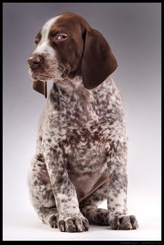 German Shorthaired Pointer like my childhood dog named Chocolate. Awww so cute!