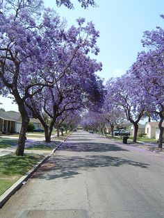 Jacaranda Trees; Long Beach, CA....these are everywhere!!