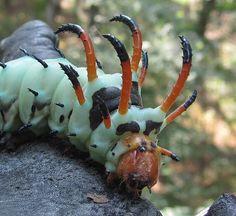 Hickory Horned Devil - Citheronia regalis larva!