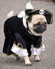 298abdac006 pirate pug 2013 - Google Search Pirate Pictures
