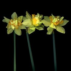 STARLETS…DAFFODILS by Magda Indigo - Photo 202630553 / 500px Butterfly Flowers, Love Flowers, My Flower, Butterflies, Flower Anatomy, Black Background Photography, Seasons Of The Year, Cool Photos, Amazing Photos