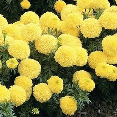 123 best marigolds images on pinterest in 2018 marigold flower marigold inca 2 primrose four inch fully double pastel yellow flowers annual mightylinksfo