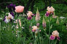 TALL BEARDED IRISES WITH LUPINE-- AN EASY-TO-GROW COMPANION PLANT