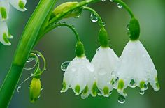 Leucojum aestivum Snowflake - Late spring bloomer, does very well in the south, even in shade.