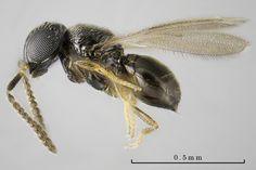 mushi-akashi. Telenomini, Telenomus sp. ♀