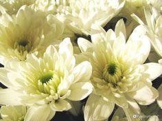 A pochi giorni dalla Solennità di Ognissanti e del ricordo dei defunti cominciano a sbocciare i crisantemi