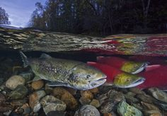 David Hall, Sockeye at Night Salmon Run, Kelp Forest, Sockeye Salmon, Wild Photography, Painting & Drawing, Drawing Tips, Sea Dragon, Marine Life, Mother Nature