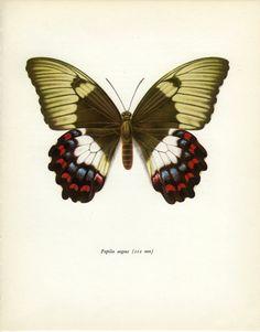 Vintage Butterfly Print, Orchard Swallowtail (77)  Prochazka, 1964, Lepidoptera