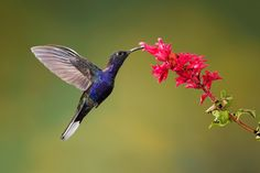 Violet Sabrewing by Gaurav Mittal on 500px Photographed in Bosque De Paz, Costa Rica.