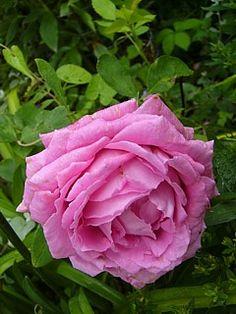 Hybrid Perpetual Rose: Rosa 'Mrs John Laing' (U.K., c.1885)