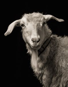 Dramatic black and white studio portraits of goats and sheep by Kevin Horan