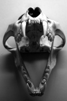 Leopards skull by raphael photography