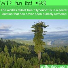 The world's tallest tree - WTF fun facts