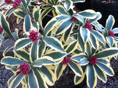 Daphne odora 'Rebecca' features sharper, brighter variegations and more saturated color in the flower buds than some others. Horticulture, Winter Garden, Plants, Succulents, Flower Bud, Shrubs, Flowers, Garden Plants, Flowering Trees