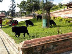 black goats - The Shree Pashupatinath Temple area - Kathmandu, Nepal