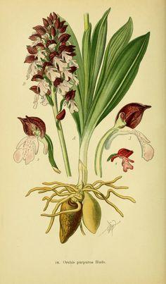 Abbildungen der in Deutschland und den angrenzenden gebieten vorkommenden grundformen der orchideenarten. - Biodiversity Heritage Library