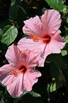 Pink Hibiscus  have this one