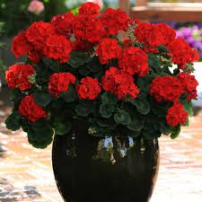 geraniums in containers - Google Search