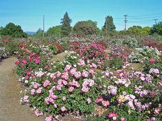 Blooming Flowers in Rose Garden, Chandigarh, Punjab