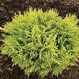 Anna's Magic Ball™ - Arborvitae - Thuja occidentalis