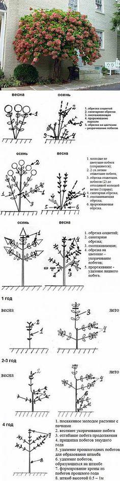 Формирование и обрезка гортензии | сад-огород | Постила