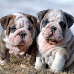 English Bulldogs • Double trouble!