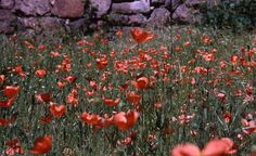 Field Poppies Solar de Oura  Photo by Vasco Carvalho -- National Geographic Your Shot