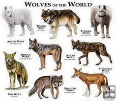 The types of wolves :3