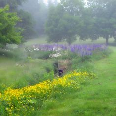 A field of Lupine and Buttercups in North Haven, Maine-this pretty much sums up Maine this time of year. Mist, buttercups, and lupine. Lovely!