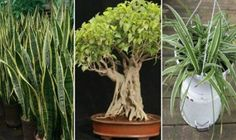 3 rastliny, ktoré generujú kyslík aj v noci. Dajte si jednu z nich do spálne Warm Lemon Water, Bodhi Tree, Spider Plants, Shade Trees, Snake Plant, Ficus, Growing Plants, Growing Vegetables, Natural Cures