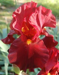 Iris Lover: War Chief (Tall Bearded Iris)