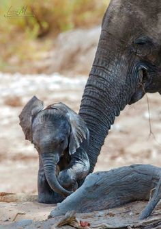 Sweet baby elephant with his Mama.