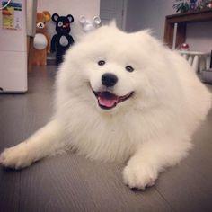 #Samoyed dog# cute puppy
