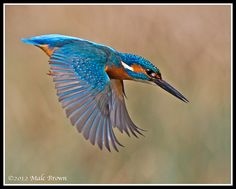 Male Kingfisher  www.malckingfisher.co.uk/