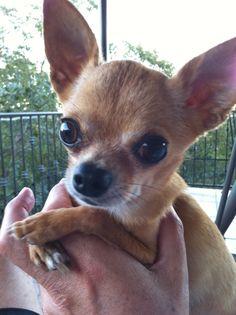 Chihuahua Love!!