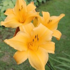 Gasteria disticha Planta Alocasia, Aloe, Gardening, Band, Plant Identification, Interesting Recipes, Numbers Preschool, Plant, Green