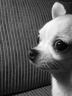 why are profile photos of chihuahua's so freaking hilarious? ..it's like their eyes or something..
