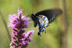 Swallowtail Butterfly on Blazing Star in West Tyson Prairie. Photo taken by Park Ranger Steve Tiemann. #stlconature
