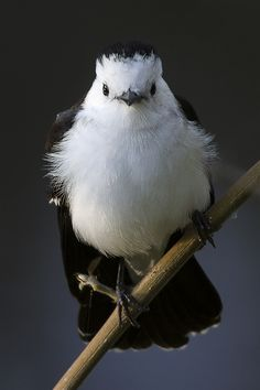 Black-backed Water-Tyrant (Fluvicola albiventer) This tyrant is a striking bright-white & black bird. .
