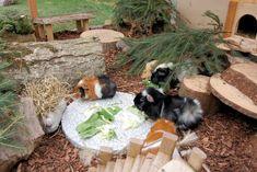 Meerschweinchen Aussengehege, guinea pig outside enclosure