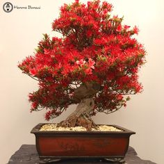 Bonsai Stunning Small Red Leaf Satsuki Azalea Bonsai