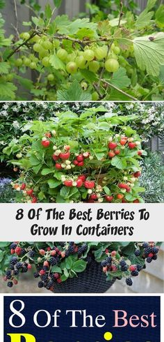 Want to grow berries? But what to do if you don't have space to plant them? Growing berries in containers is the answer! Want to grow berries? But what to do if you don't have space to plant them? Growing berries in containers is the answer! Potted Strawberry Plants, Blackberry Plants, Raspberry Plants, Strawberry Planters, Growing Strawberries In Containers, Growing Tomatoes In Containers, Gooseberry Bush, Growing Blackberries, All About Plants
