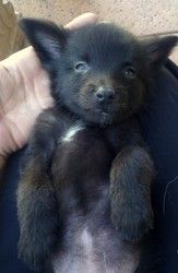 Best Cuby Chubby Adorable Dog - 27e49ebe36635f7d1e79a1dd9238f6cd--schipperke-dog-black-dogs  Perfect Image Reference_272640  .jpg