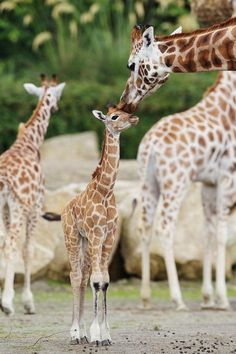 All kids getting same affection from a mother giraffe