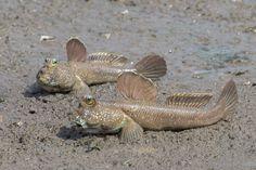 Giant mudskippers (Periophthalmodon schlosseri)