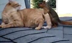 Cat Plays With Squirrel On Roof (Video) - definitely not one of my cats!