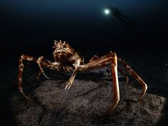 Giant spider crab- do you see the diver in the background. wow- big crab!