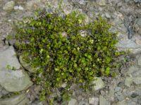 Muhlenbeckia axillaris