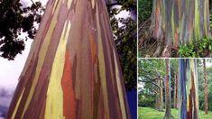 Al Eucalyptus deglupta, nativo del sur de las Islas Filipinas, Indonesia y Nueva Guinea, se le conoce también como Eucaliptus arcoiris por la vistosa coloración de su tronco. Su llamativo aspecto se produce debido a la forma en la que muda su corteza. La mutación es de forma escalonada a lo largo de todo el año: el color verde del interior va oscureciéndose, modificando sus tonos a increíbles y fascinantes colores amarillos, azules, púrpuras, granates, naranjas, rosas u ocres.